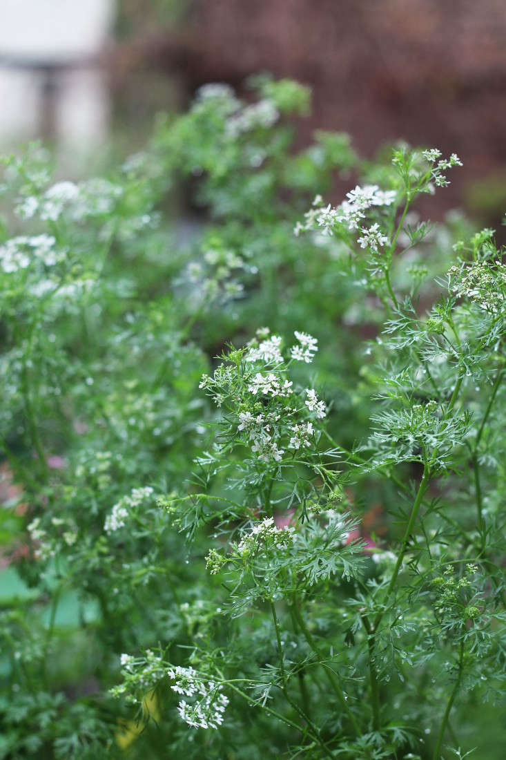 cilantro-marie-viljoen-gardenista