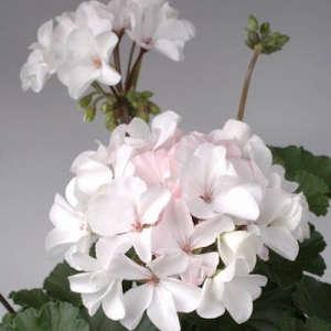 Nano white pelargonium ; Gardenista