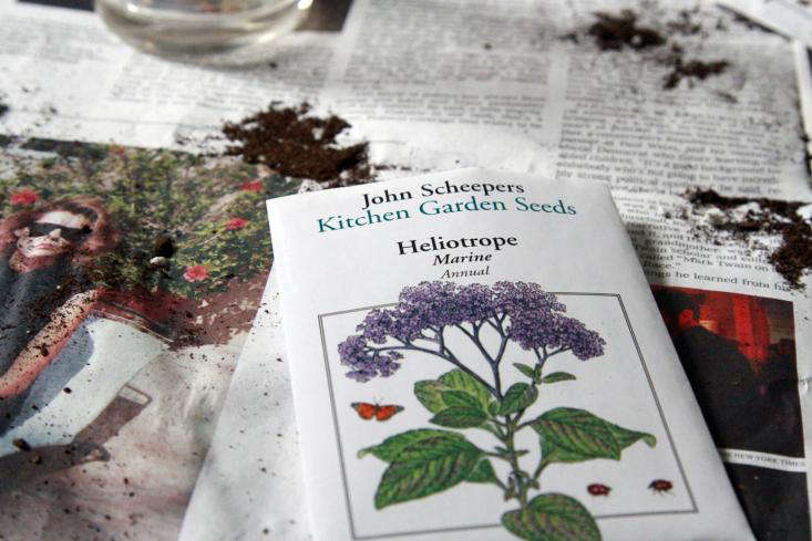 heliotrope seed packet