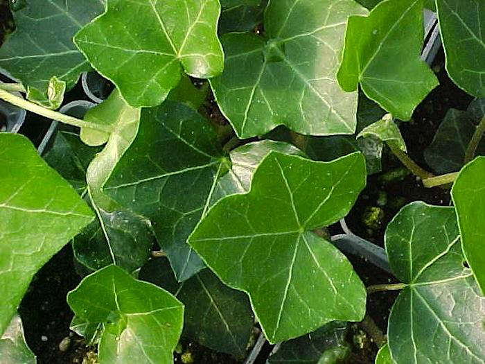 English Ivy Thorndale: Gardenista
