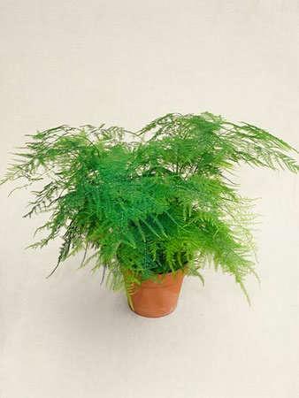 Asparagus Fern Plumosa Nanus Gardenista