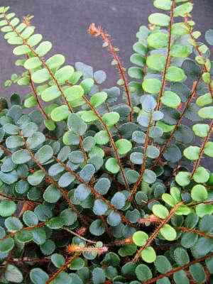 Button Fern Gardenista