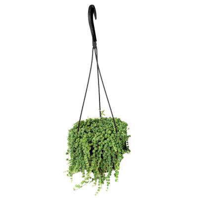 Hanging Basket Pearls Plant Gardenista