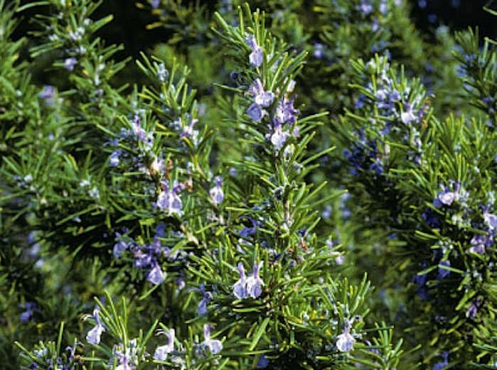 Rosemary-Tuscan Blue Herb Plant
