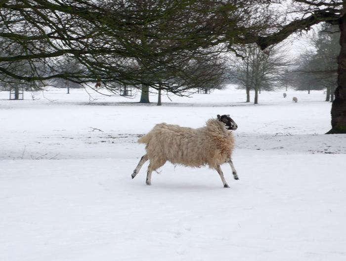 700_1-flying-sheep-winter