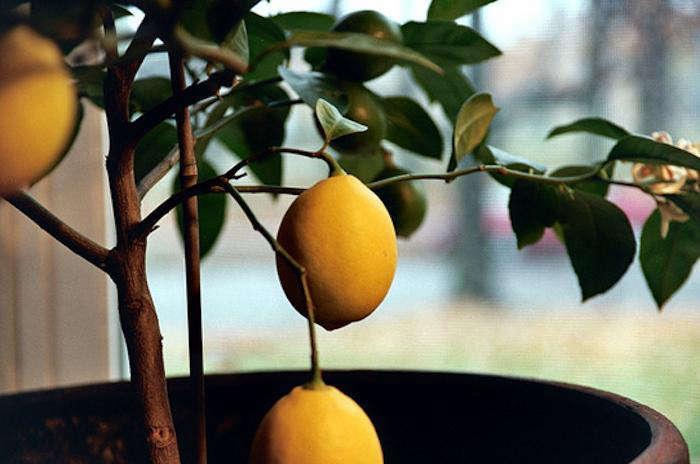 diy potted indoor citrus trees gardenista. Black Bedroom Furniture Sets. Home Design Ideas