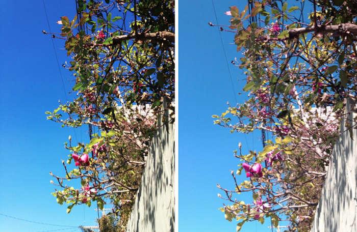 700_alexa-photo-tulip-magnolias-tulip-magnolia-two-images-jpeg
