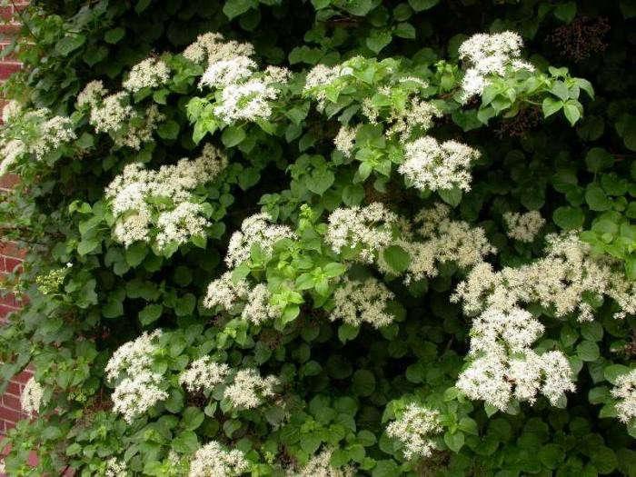 700_climbing-hydrangea-vine