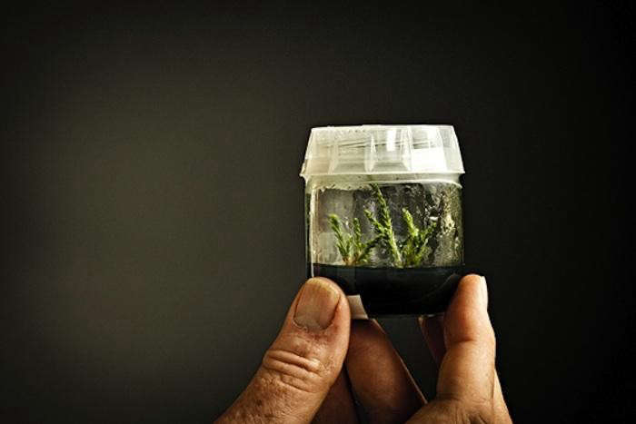 700_cloned-giant-sequoia-tree-in-jar