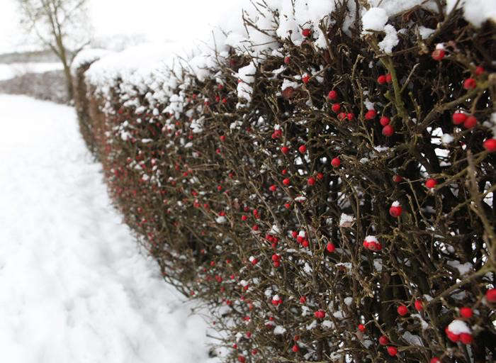 700_cotoneaster-in-snow