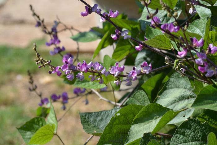 700_hyacinth-bean-vine-plant
