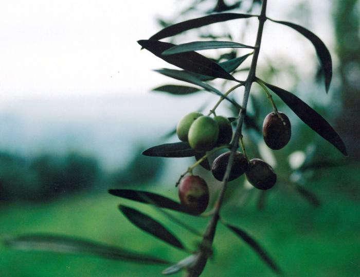 700_olives-from-poggia-oil