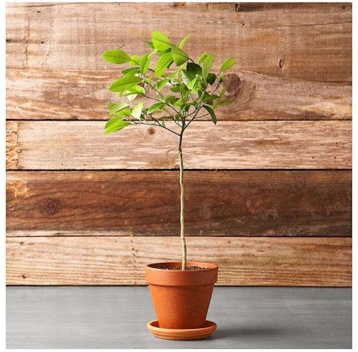 700_potted-citrus-tree-meyer-lemon-