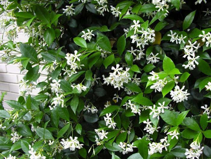 700_star-jasmine-vine-1