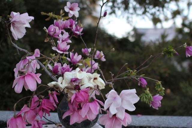 640_louesa-magnolia-flowers
