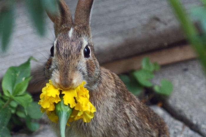700_bunny-eating-marigold