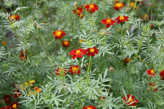 700_calendula-ildkong-fave-veg-gardenista