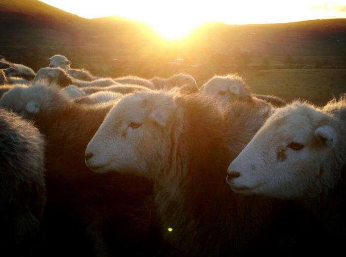 700_i-love-sheep-and-where-we-farm