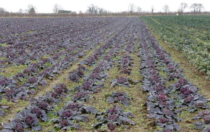 700_rows-of-cabbages
