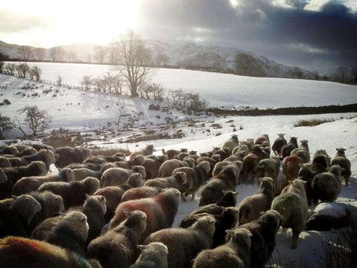 700_sheep-walking-away-in-snow