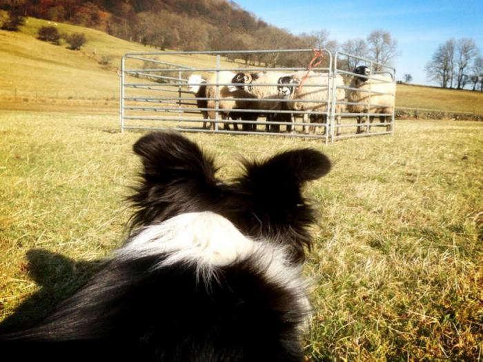 700_sheepdog-practise