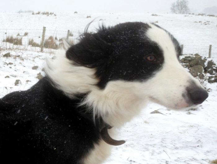 700_sheepdog-snow-lake-district-today-new
