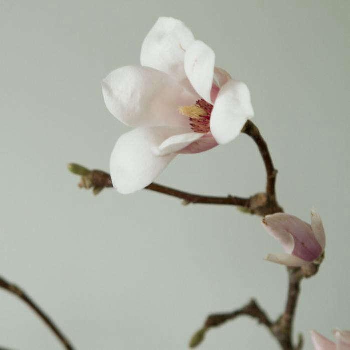 700_tulip-magnolia-jpeg