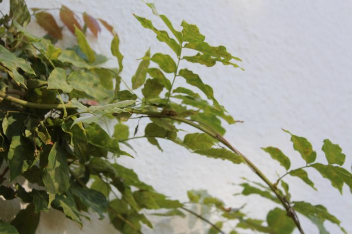 700_wisteria-closeup