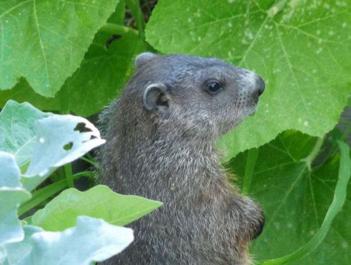 700_woodchuck-in-garden