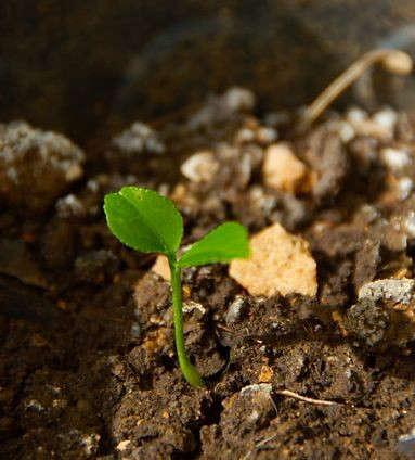 compost-lemon-tree