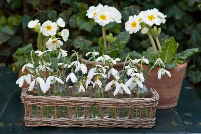 700_de-boschoeve-snowdrops-and-primroses
