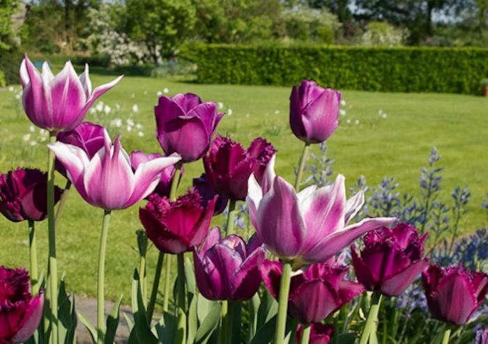 700_tulips-at-de-boschhoeve