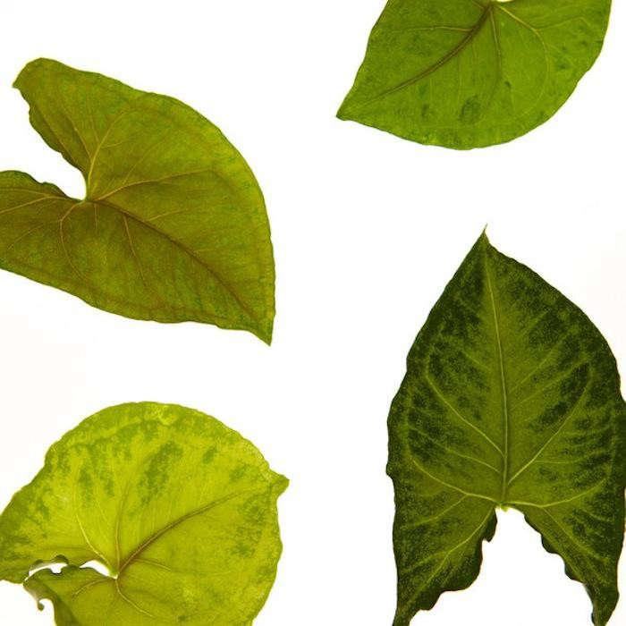 700_arrowheadplant-lg-grande