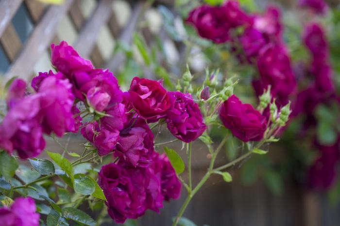 700_climber-roses-3