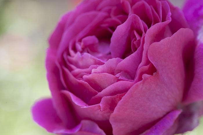 700_samroses-lipstick-pink-closeup