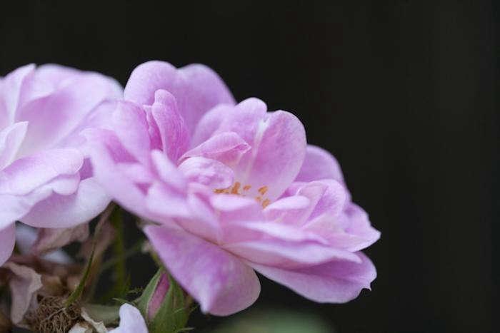700_samroses-pale-pink