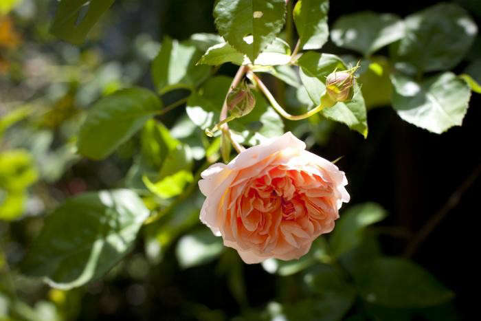 700_temora-roses-8