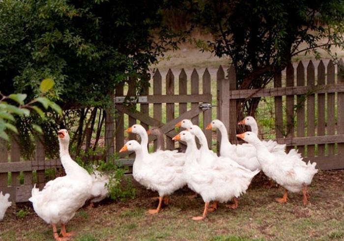 700_annie-smithers-geese