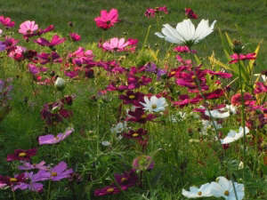 Cosmos growing wild ; Gardenista