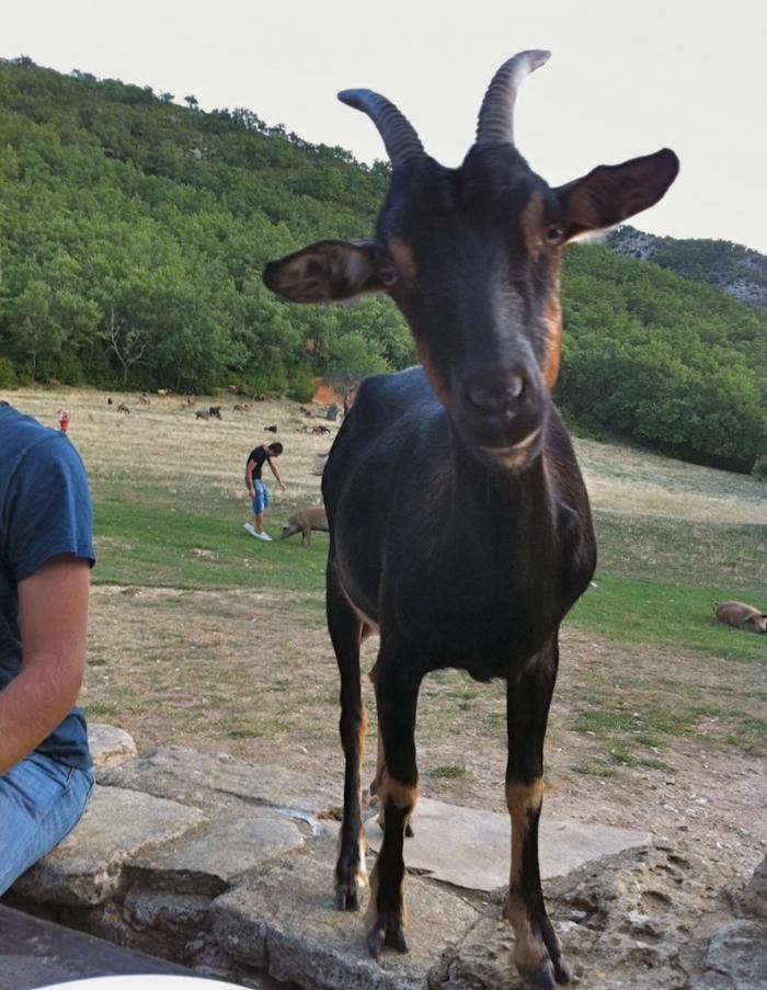 700_ferme-goat-friend
