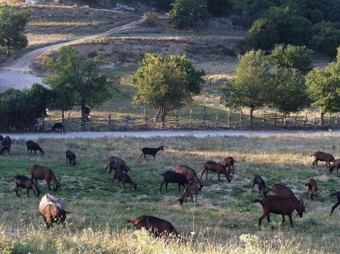 700_ferme-goats