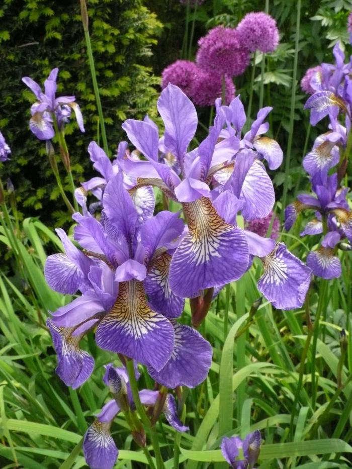 700_new-iris