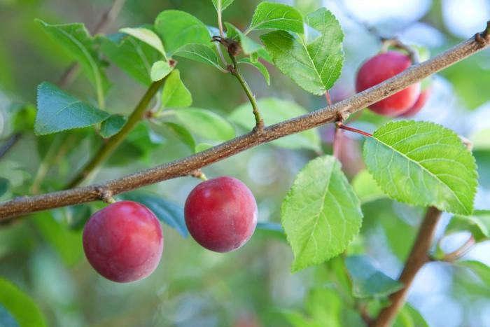 700_plums-1
