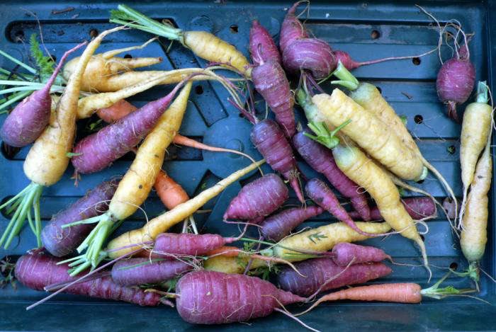 700_carrots