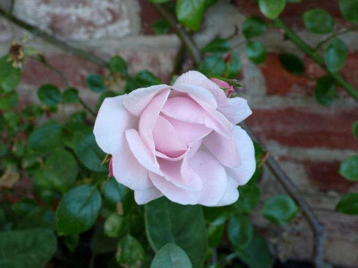 700_rose