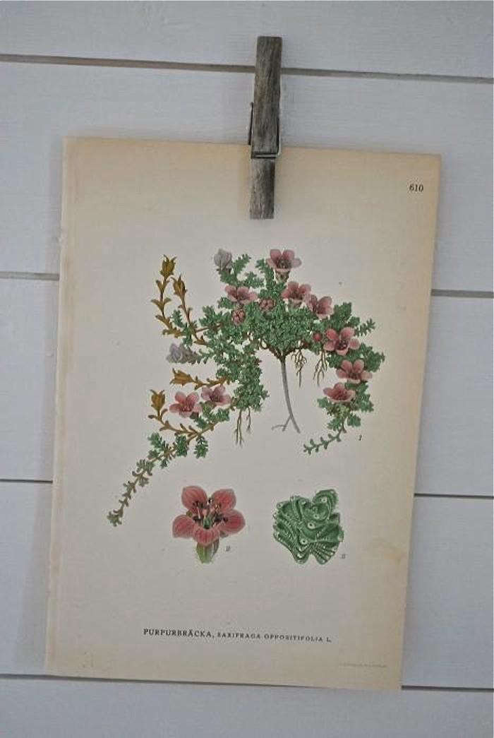 700_swedich-botanical-saxifrage