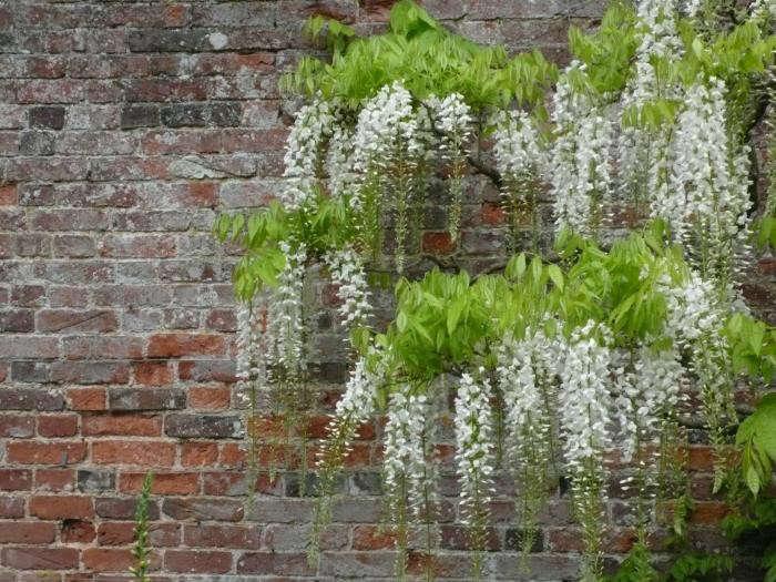 700_wisteria