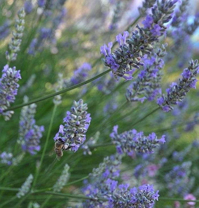 700_700-bee-in-lavender