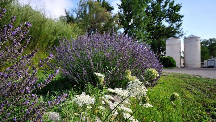 700_lavender-landing-lavender