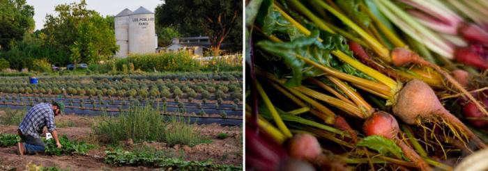 700_lavender-organicfarm-farmbeets
